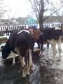 sprzedam krowy-jałówki