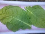 tytoń liście surowe wysyłka 665247499