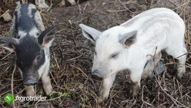 Prosięta Mangalica (Węgierska świnia pastwiskowa) - zdjęcie 1
