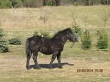 źrebak,koń zimnokrwisty,kary, 9-miesięcy