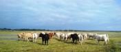Sprzedam lub oddam w dzierżawę stado bydła