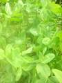 Koniczyna czerwona z certyfikatem rolnictwa ekologicznego