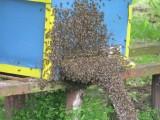 kupię pszczły