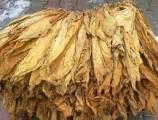 Liście Tytoniu virginia kl. 3-4                13 zł kg