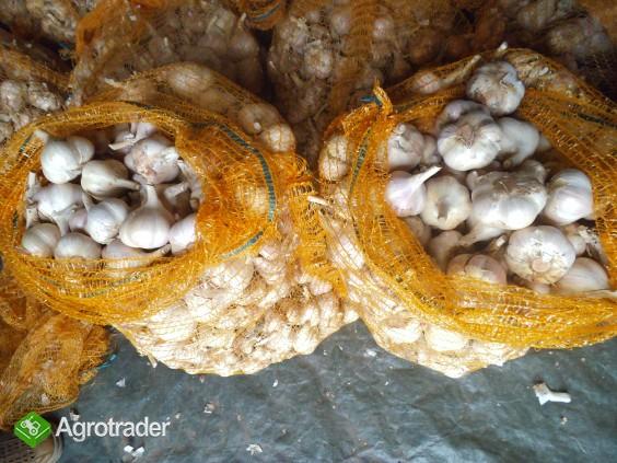 Czosnek zimowy, producent k/Torunia - zdjęcie 1