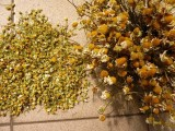 Nasiona rumianku