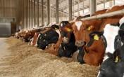 Krowy  pierwiastki i jałówki HF holenderskie
