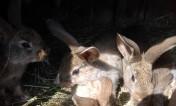 Sprzedam młode króliki okazja
