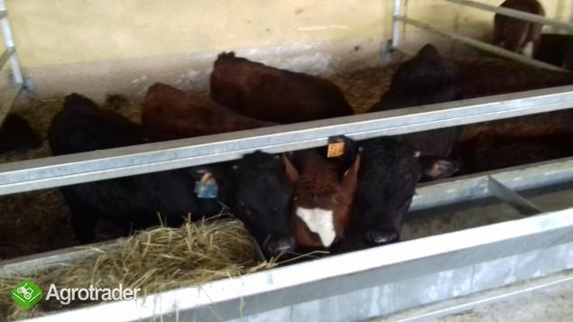 sprzedam cielęta oraz byczki mięsne Transport Gratis Na terenie Kraju  - zdjęcie 1