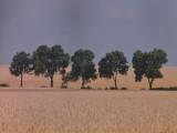 Pszenżyto, pszenica ozima - nasiona  w stopniu C1