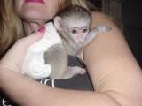 małpy kapucynki na sprzedaż
