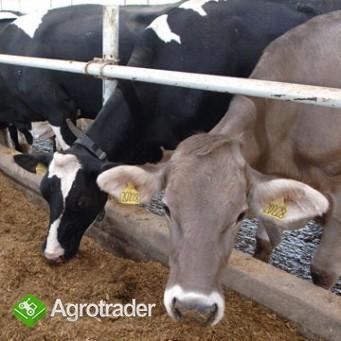 Ukraina. Krowy pierwiastki od 700 zl/szt. Mleko 4% cena 0,40 zl/litr