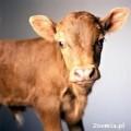 Skup bydła i cieląt-rzeźnego i hodowlanego