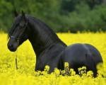 Piękny czarny żeński fryzyjczyka koń na sprzedaży