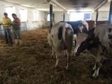 Jałówki i krowy pierwiastki HF czeskie cielne