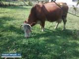 krowa do sprzedania