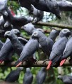 Fresh Fertile Parrots Eggs And Babies Parrots (African Greys)