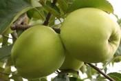 Poszukuje odbiorców na jabłka/ Sprzedam