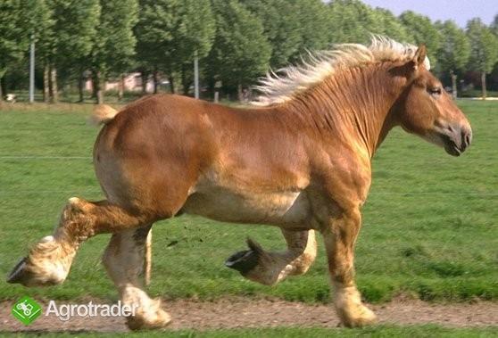 UkrainaCiezkie konie 3zl/kg wlodzimierskie o duzej masie ciala w cenie