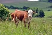 Zniżka-30%!Po całej polsce.Ograniczone!Mięsne byczki śr.waga 330kg