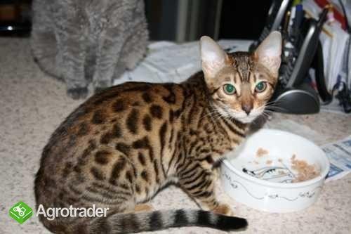 mężczyzn i kobiet Bengalu kociąt kotów do adopcji