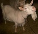kozy-sprzedam pilnie