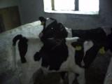 cielaczki byczki czrno-białe