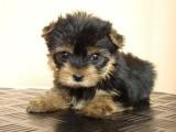 Tiny AKC yorkshire terrierów