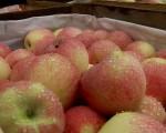 Nawiążę współpracę z odbiorcami jabłek 5-10t/tydz