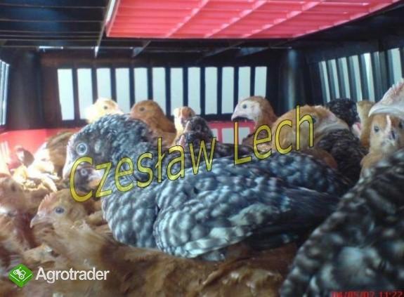 Kurczęta odchowane - zdjęcie 4