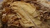 Tytoń Liscie tytoniu Virginia Gold 1 klasa