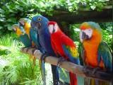 Papugi ara na sprzedaż
