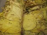 Liście Tytoniu Virginia
