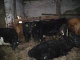 byczki z gospodarstwa ekologicznego 14szt.